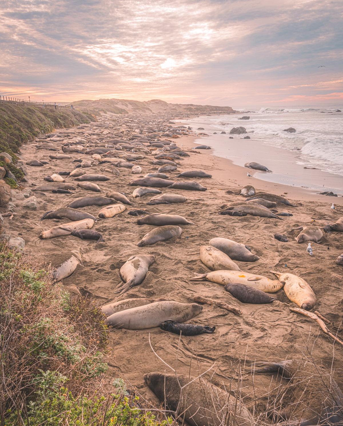 Elephant seals on the coast of California