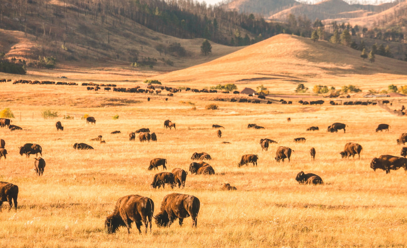 American Buffalo in Custer State Park