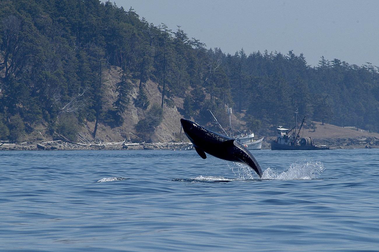Killer whale in San Juan Islands