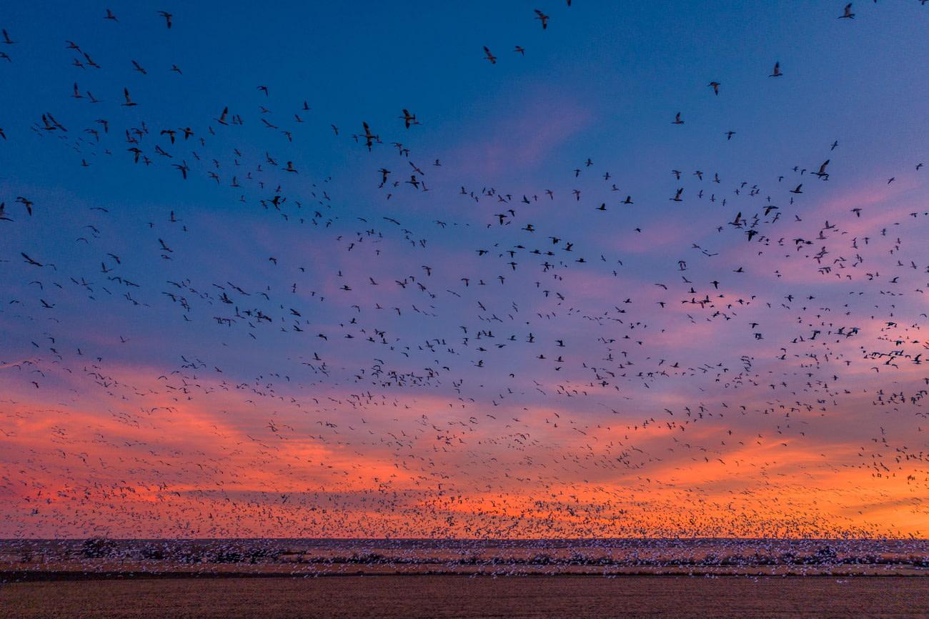 Sandhill Crane Migration, Nebraska