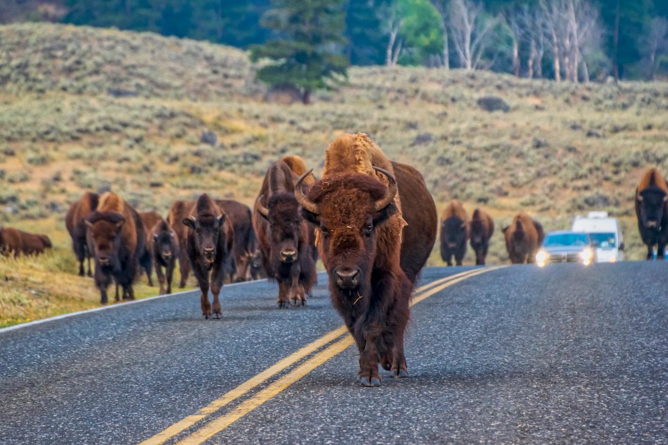 Wildlife encounter in Yellowstone National Park